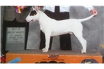 Picture of a Bull Terrier Puppy