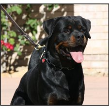 View full profile for Vom Kazimov Rottweilers