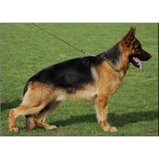View full profile for Ammons German Shepherds