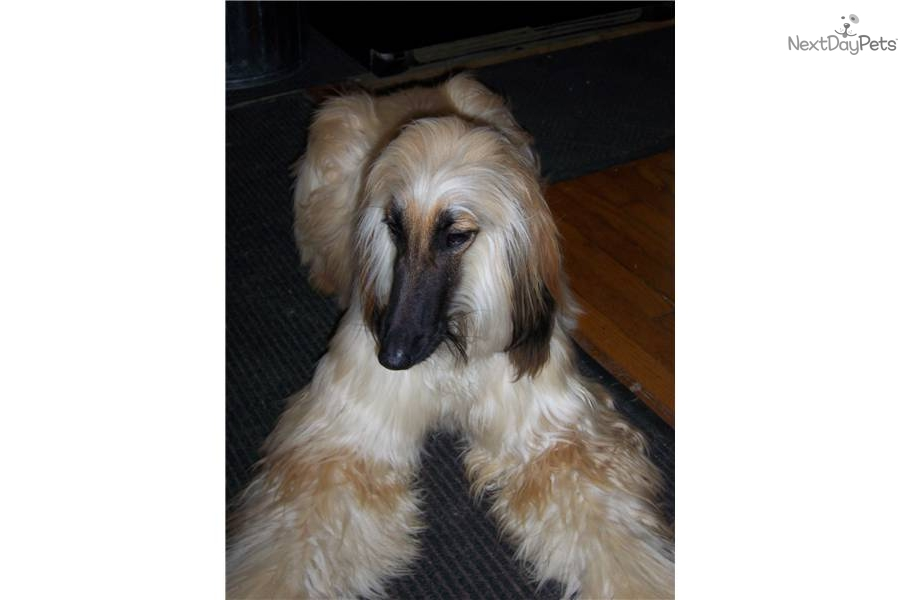 Afghan Hound Puppy For Sale Near Baltimore Maryland
