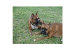 Featured Breeder of Boxers with Puppies For Sale