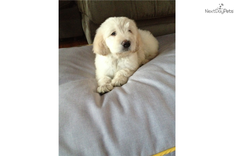 Sophie English Golden Retriever Puppy For Sale Near Worcester