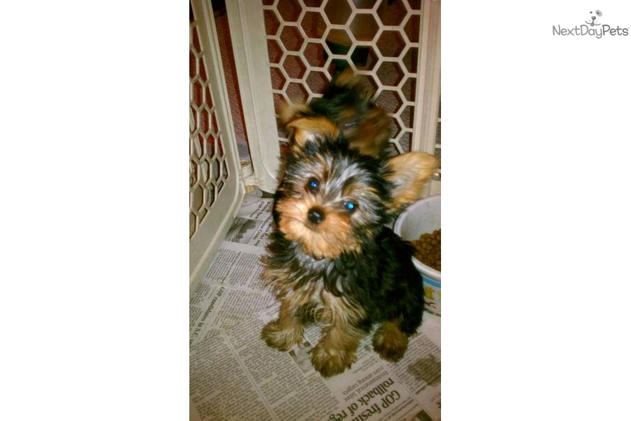 yorkie puppies for sale in michigan yorkshire terrier puppies for sale in holland mi and with 3052