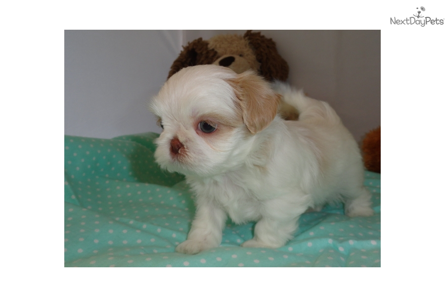 Gizmo Shih Tzu Puppy For Sale Near Dallas Fort Worth Texas