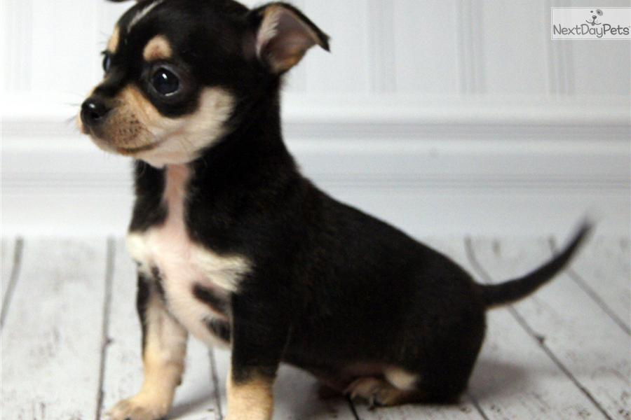 tri color chihuahua chihuahua puppy for sale near lincoln nebraska eb739598 5789