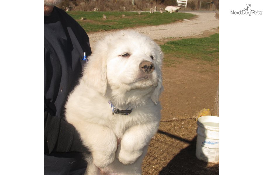 Sampson: Great Pyrenees puppy for sale near Louisville ...