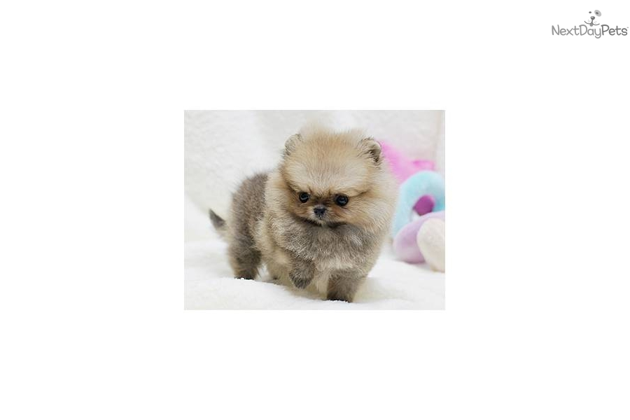 pomeranian puppies for sale seattle pomeranian puppy for sale near seattle tacoma washington 7492