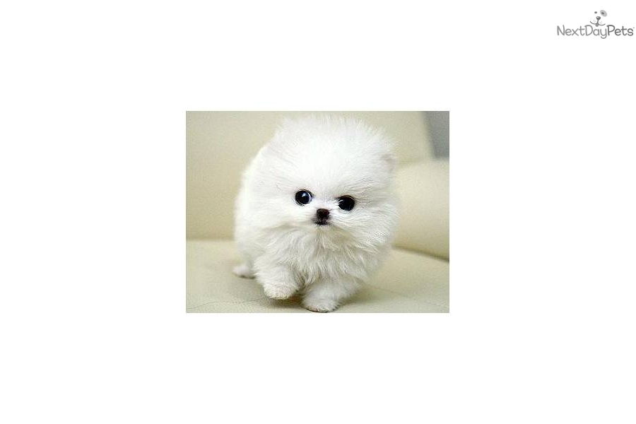 pomeranian puppies for sale seattle pomeranian for sale for 3 800 near seattle tacoma 7099