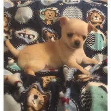 View full profile for Kesabrey Chihuahuas