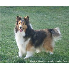 View full profile for Jeannie's Precious Shelties