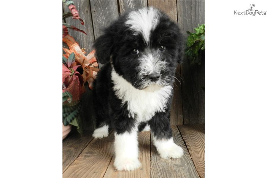 Meet Dallas Sheepadoodle A Cute Sheepadoodle Puppy For