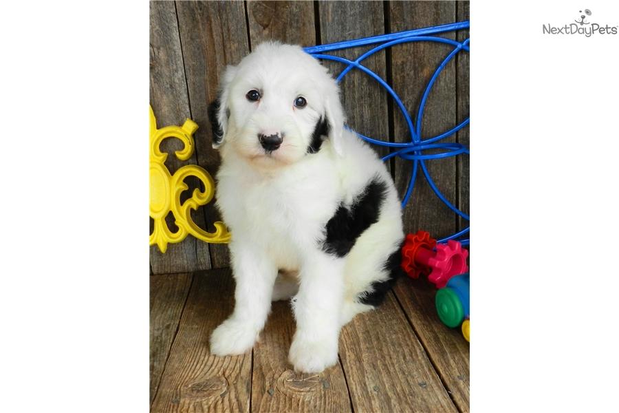 Jem: Sheepadoodle puppy for sale near Abilene, Texas