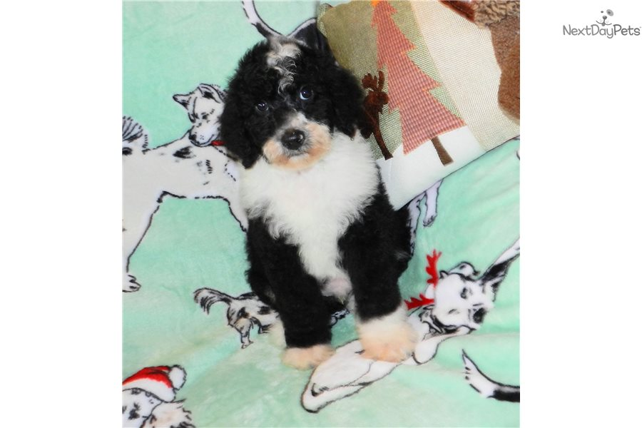 Poppy Sheepadoodle Puppy For Sale Near Abilene Texas