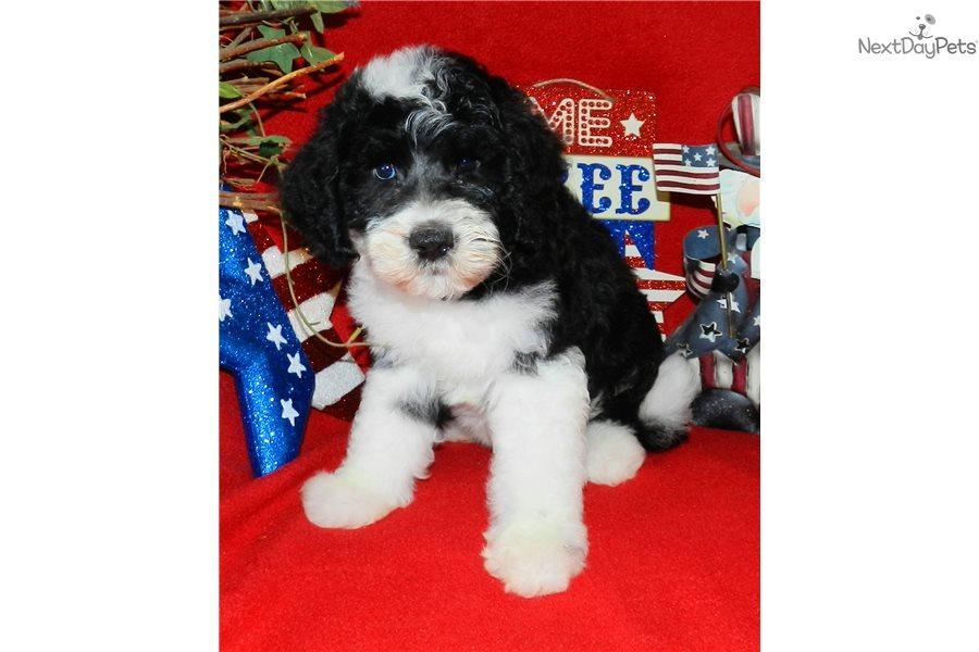 Georgia: Sheepadoodle puppy for sale near Abilene, Texas
