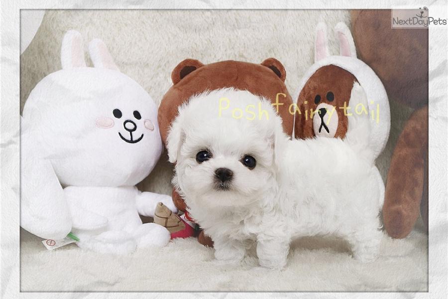 Bichon Frise Puppy For Sale Near Los Angeles California