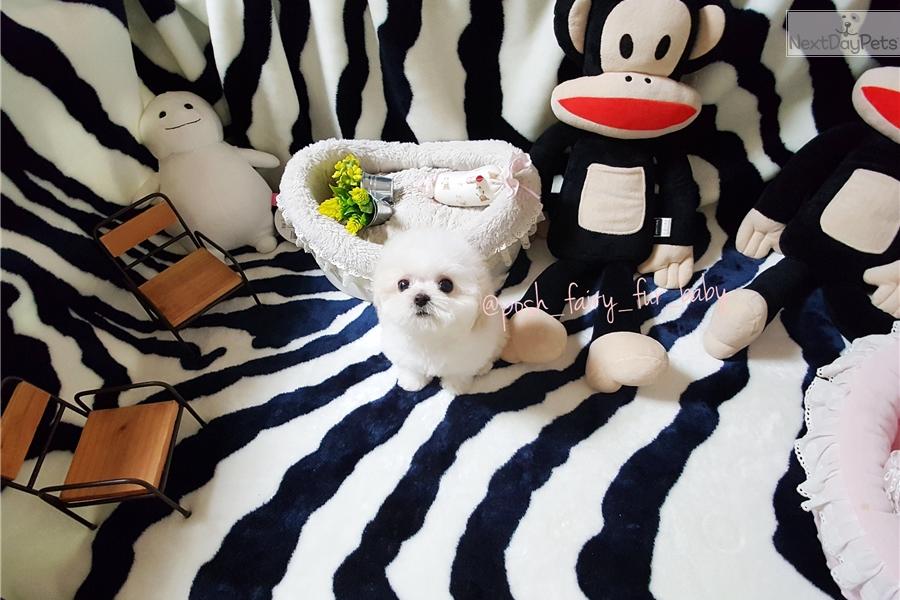 Coco Mina : Bichon Frise puppy for sale near Richmond
