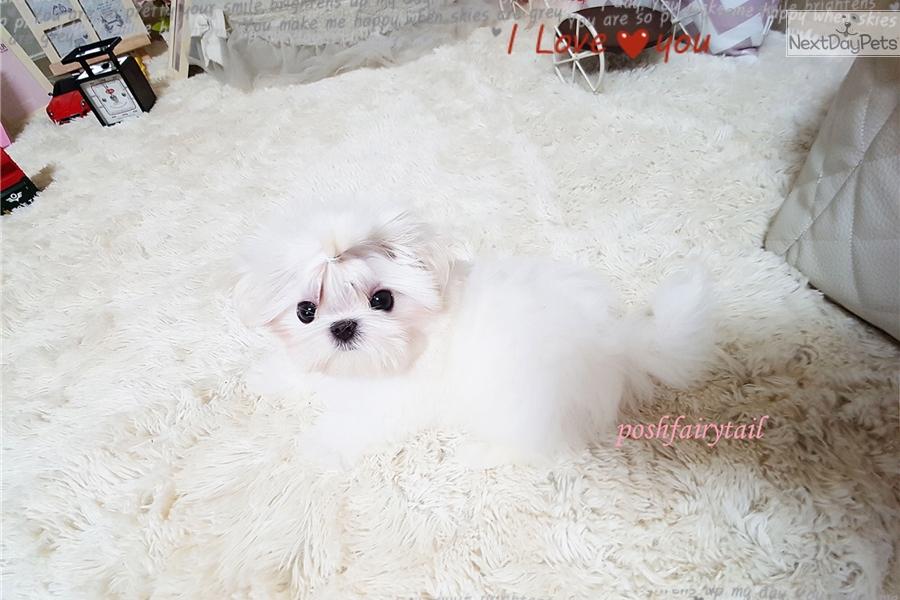 Gucci: Maltese puppy for sale near Richmond, Virginia