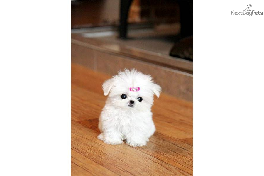 Puppy World: Teacup Maltese Puppy Pictures