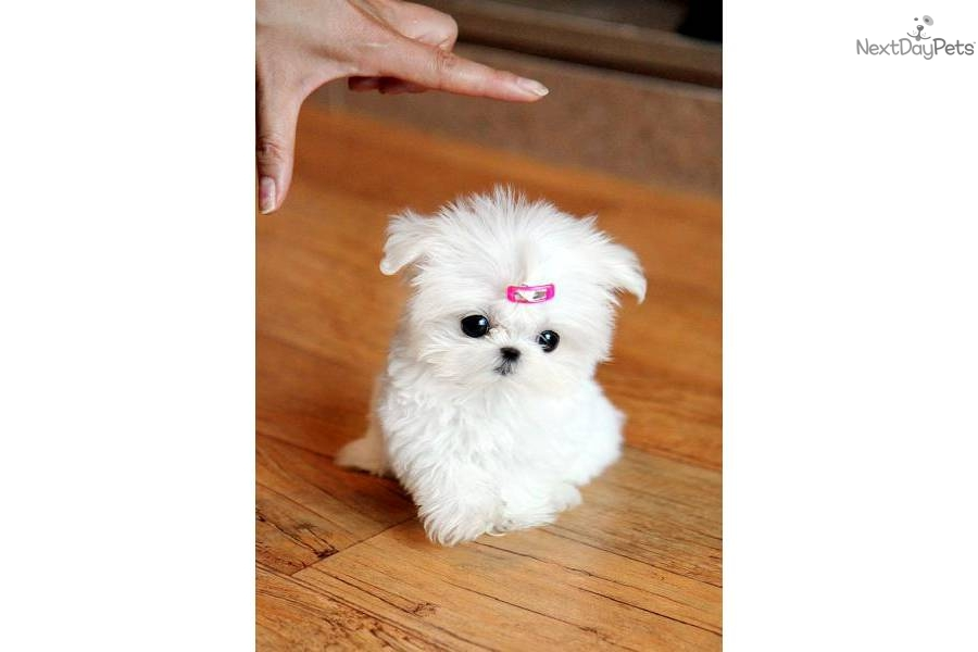 maltese for sale in va maltese puppy for sale near richmond virginia 9f92d475 8531 1658
