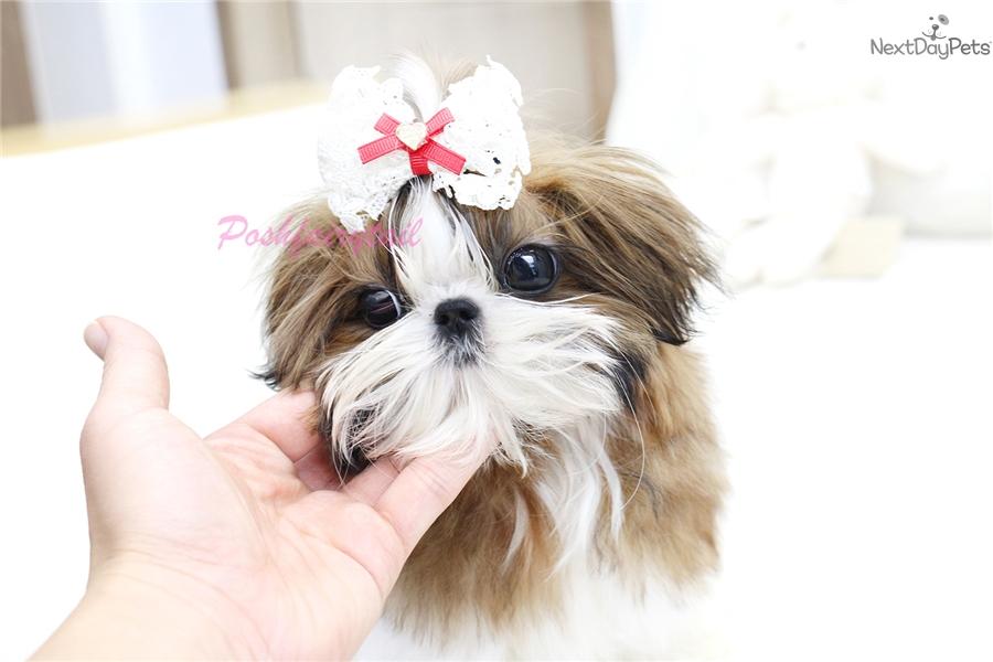 Celine Shih Tzu Puppy For Sale Near Los Angeles California