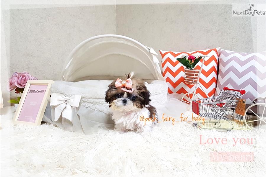 Julie: Shih Tzu puppy for sale near Richmond, Virginia
