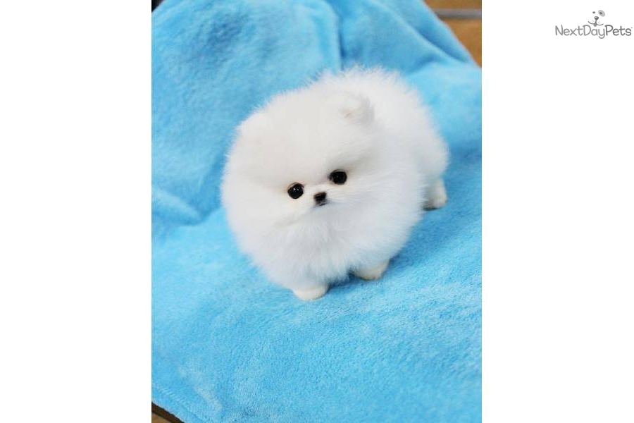 white pomeranian puppies price white teacup pomeranian price 2701