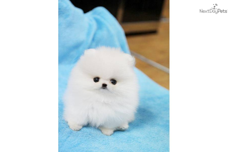 white pomeranian puppies price white teacup pomeranian price 9680