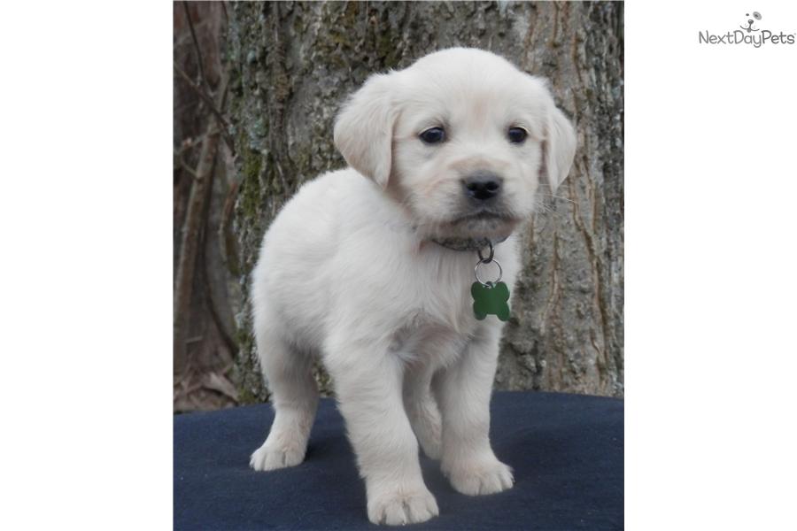Oodles Of Doodles Goldendoodle Puppy For Sale Near Nashville