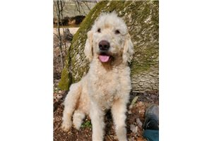 Benji | Puppy at 26 months of age for sale