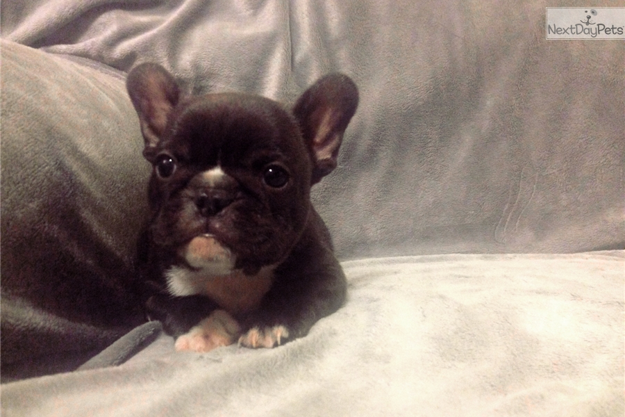 french bulldog mississippi french bulldog puppy for sale near north mississippi 6930