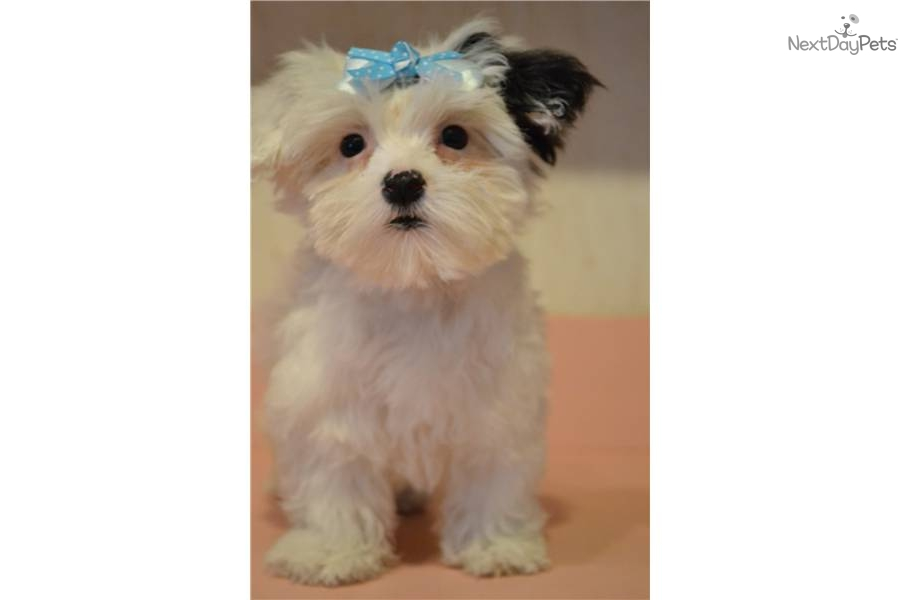 Pictures of White Teacup Maltipoo Puppy - #rock-cafe