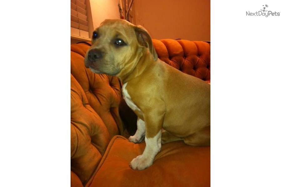 American Pit Bull Terrier for sale for $2,000, near Santa ...