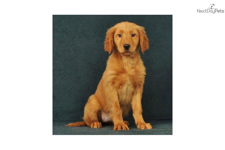 Golden Retriever Puppy For Sale Near Springfield Missouri