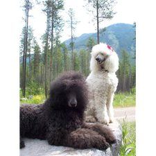 View full profile for Olive U Standard Poodles