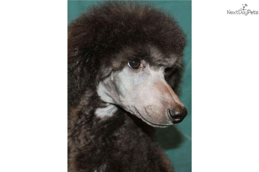 Poodle Standard Puppy For Sale Near Maine 84bc0eae 3151