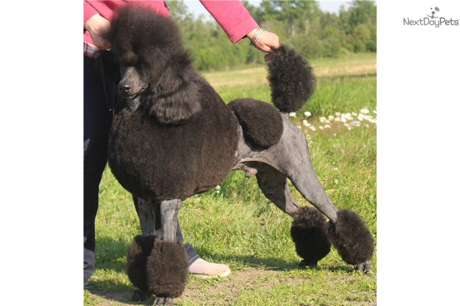 Cobalt: Poodle, Standard puppy for sale near Maine | 16f71a1f-4e11