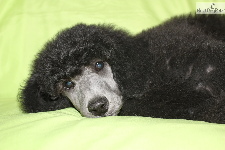 Ethan Poodle Standard Puppy For Sale Near Maine 7c5dbe58