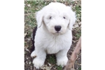Picture of an Olde English Sheepdog Puppy