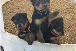 Picture of Male Airedale pup