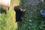 Picture of Airedale pup