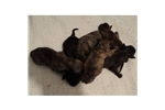 Picture of a Patterdale Terrier (Fell Terrier) Puppy