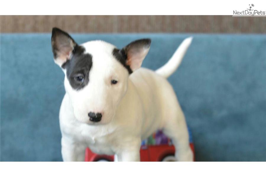 Geliefde Miniature Bull Terrier puppy for sale near New York City, New York  SL43