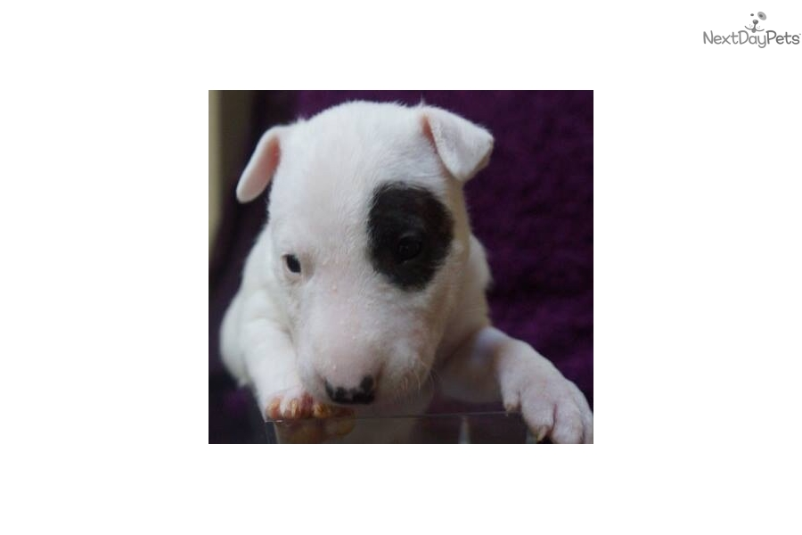 bull terrier puppies for sale near me miniature bull terrier puppy for sale near new york city 4274