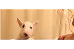 Picture of Rocky- Miniature Bull terrier puppy