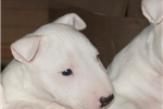 Picture of Rocky - Miniature Bull Terrier puppy