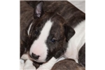 Picture of Ana - Miniature Bull terrier puppy