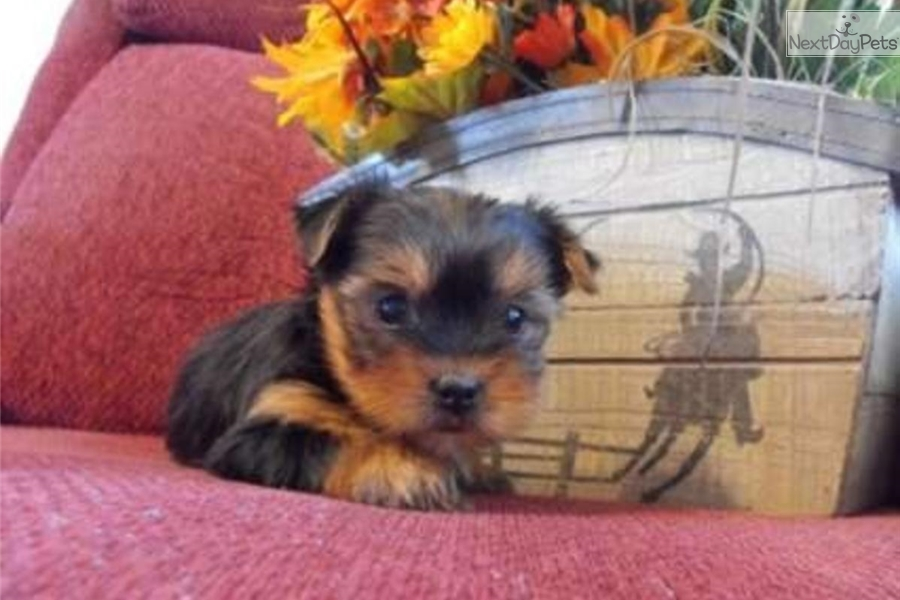 Henry Yorkshire Terrier Yorkie Puppy For Sale Near New York City