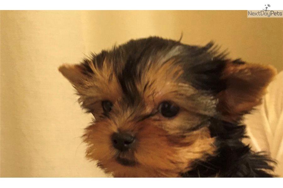 Yorkshire Terrier Yorkie Puppy For Adoption Near New York City