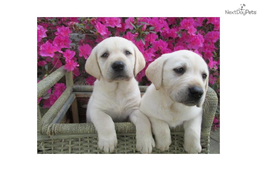 Labrador Retriever Puppy For Sale Near Tyler East Tx Texas