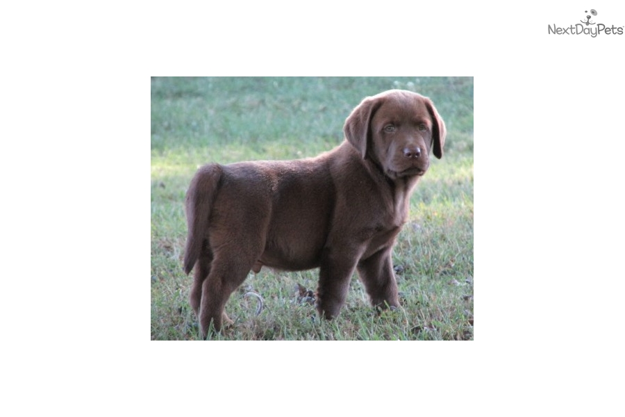 Akc English Lab-Chocolate | Brown Male Labrador Retriever ...